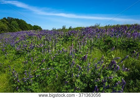 Blooming Lupine Flowers Lupinus Polyphyllus . Field Of Lupine Plant. Violet Purple Pink Lupin In Mea