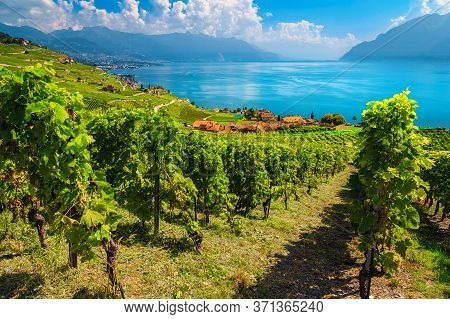 Amazing Vine Rows With Lake Geneva In Background. Beautiful Place With Vineyards On The Hills In Lav