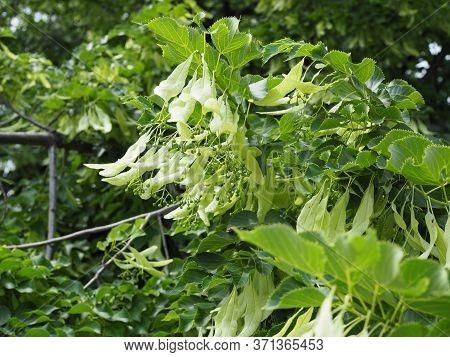 Linden Tree Lime Tree Linden Begin Blossom In Spring