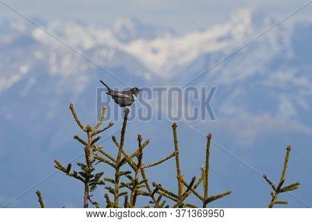 Ring Ouzel Turdus Torquatus Switzerland Swiss Alps Thrush Family Turdidae.
