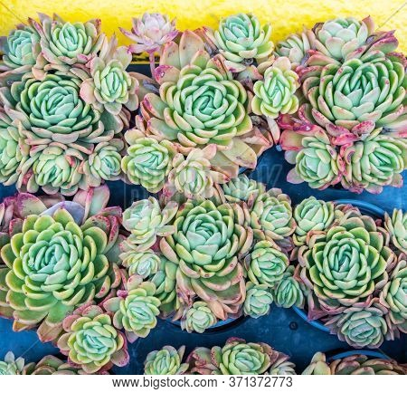 Succulents cactus for decoration. Cactus succulents in a planter.
