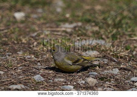 European Greenfinch Chloris Chloris Passerine Finch Portrait Switzerland