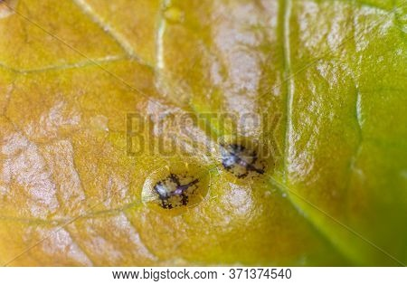 Macrophotography Of Diaspididae Insects On Leaf Vessel. Armored Scale Insects At Home Plants. Insect