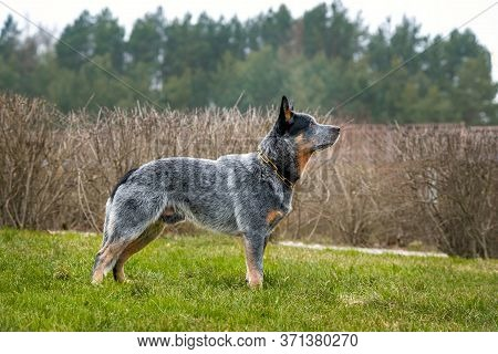 Australian Shepherd Dog, Gray-red-white Speckled Healer Stands On A Grass Field.
