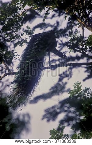 A Peafowl On A Tree In Indian Wildlife Forest