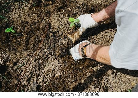 The Hands Of An Elderly Man Plant A Seedling Of Cucumbers. Cucumber Sprout. Planting Cucumbers In Th
