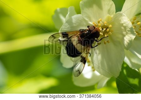 The Babbler Fly Eats The Nectar Of A Flower. Close Up. Macro. Copy Space.