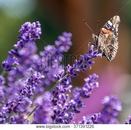 Pipevine Swallowtail Butterfly Sickling Nectar From Purple French Lavender Plants In Long Island