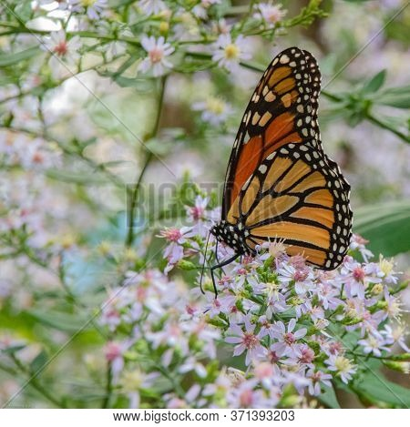 Monarch Butterfly Suckling On Milkweed Plants At Refueling Station In South Carolina