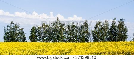 Beautiful Field Of Bright Yellow Rape With Trees In Background Rapeseed Flowers Against Blue Sky Wit
