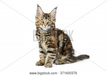 Tortoiseshell Maine Coon Kitten, Isolated. Cute Maine-coon Cat On White Background. Little Funny Pur