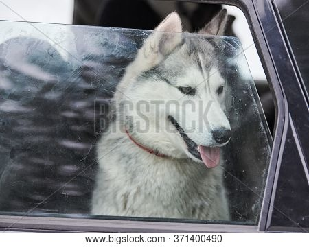 Husky Sled Dog In Car, Travel Pet. Dog Locked Inside Car, Looking Out Car Window And Waiting For Wal