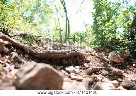 Tree Roots On Dirt Trail. Hiking In Coniferous Forest In Summer. Tourism And Travel. Tree Roots Abov