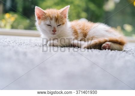 Cute Little Red Cat Sitting On Wooden Floor With Window On Background. Young Cute Little Red Kitty.
