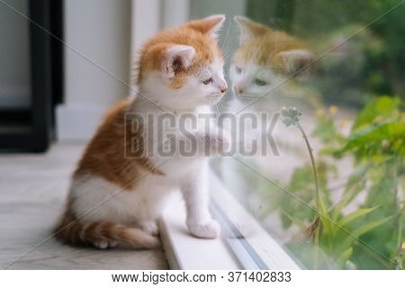 Cute Little Red Cat Sit On Wooden Floor Near Window. Young Little Red Kitty Looking Out Window. Ging