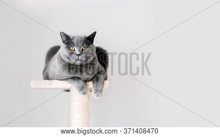 British Shorthair cat lying on scratcher. Grey wall background