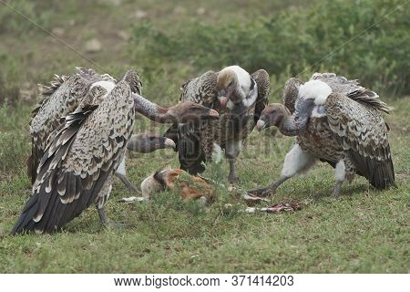 White Backed Vulture Group Gyps Africanus Eating Carrion Impala Old World Vulture Family Accipitrida