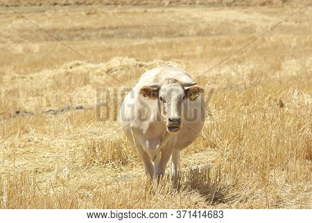 a cow grazing stubble of wheat field in Sicily countryside