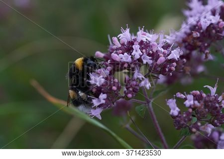 Bumblebee Bumble Bee Humble Bombus Apidae Violet Flower