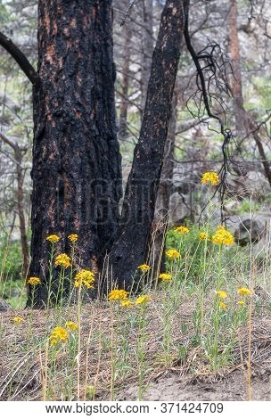 Charred Tree And Yellow Wildflowers In The Forest Near Brainard Lake, Nederland, Colorado