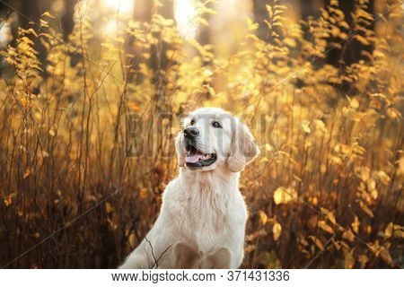 Golden Retriever In Autumn In The Leaves. Dog On The Nature In The Fall. Walk With A Pet Outdoor