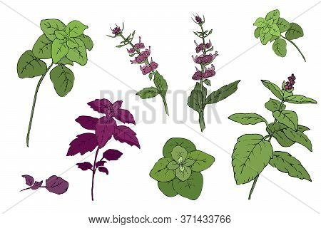 Vector Set Of Basil Plant. Green And Purple Cinnamon Basil And Italian Basil With Leaves And Flowers