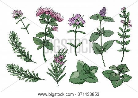 Vector Set With Culinary Spicy Herbs.  Rosemary, Thyme, Mint, Oregano, Melissa (sweet-mary) With Ste