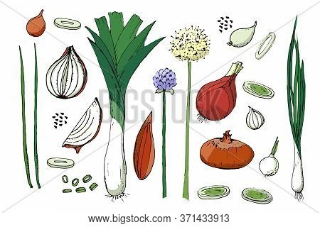 Vegetable Vector Sketch. A Set Of Onion Of Different Types. Isolated Onions, Chives, Allium Schoenop