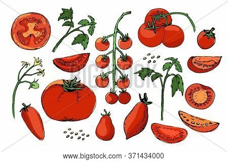 Vegetable Vector Sketch. A Set Of Tomatoes Of Different Types. Isolated Tomato, Cut Into Slices And