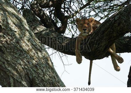 Lioness Tree Climbing Serengeti - Lion Safari Africa