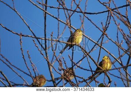 Yellowhammer Group In Tree Emberiza Citrinella Passerine Bunting