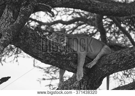 Lioness Tree Climbing Serengeti - Lion Black And White Bnw