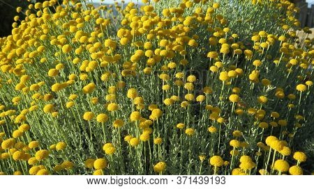 Yellow Tansy Flowers Tanacetum Vulgare, Common Tansy Plant, Bitter Button, Cow Bitter, Or Golden But