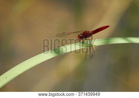 Crocothemis Erythraea Dragonfly Libellulidae Broad Scarlet Darter