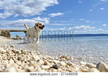 White Labrador Retriever  Bathes In The Blue Sea. White Dog Swims In The Sea/ Happy Dog On The Beach