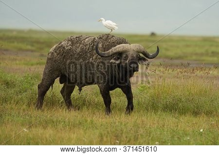African Water Buffalo Serengeti - Syncerus Caffer Big Five Safari