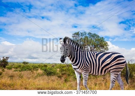 Exotic journey to the Africa. The famous Kruger Park. Burchella Zebra - flat zebra lives in southern Africa. The zebra graze in the green bushes. The concept of ecological and photo tourism