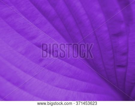 Wide Leaf Of A Plant Close-up. Deep Purple Tinted Plant Background. Natural Horizontal Backdrop Or W