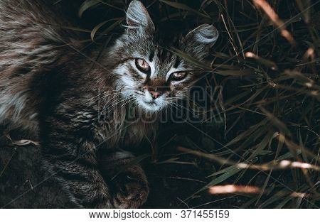 A Beautiful Cat Lies On The Ground Near The Grass And Looks At The Camera. Brown Dark Tinting.