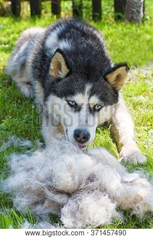 Concept Annual Molt, Coat Shedding, Moulting Dogs. Siberian Husky Lies On Green Grass In Pile His Fu