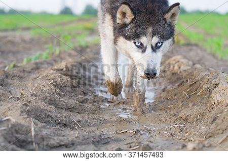 Portrait Of Husky Dog Drinks Water From A Puddle In A Filed Looking Down.