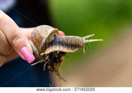 Burgundy Or Edible Snail Helix Pomatia Is Common Big European Land Snail. Helix Pomatia - Edible Sna