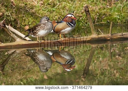 Mandarin Duck Aix Galericulata Perching Couple Water Reflection Colours