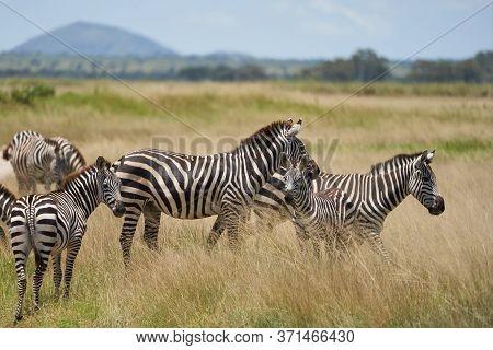 Plains Zebra Equus Quagga- Big Five Safari Black And White Stripped