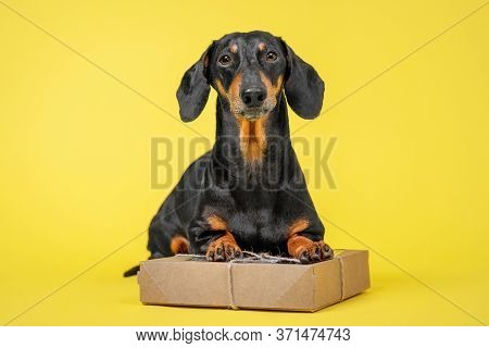 Funny Dachshund Dog With Face Expression Sits On The Cardboard Box Tied Up With A Rope. Gift Or Pet