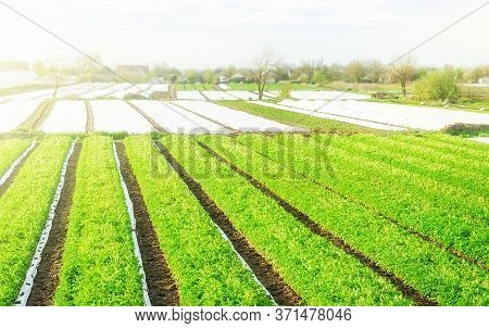 Green Farm Potato Fields On An Sunny Morning Day. Growing Vegetables Food. Agriculture Agribusiness.