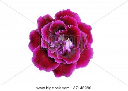 Purple-Pink gloxinia flower