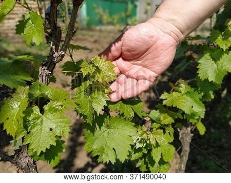 Close Up Of The Hands Of A Vintner Or Grape Farmer Inspecting The Grape Harvest. Mens Hands And Vine