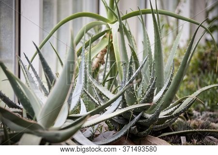 Aloe Vera Chinensis Plants On Pots In An Interior With Their Typical Cactus Leaves. Aloe Vera Chinen