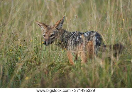 Golden Jackal Canis Aureus Safari Wild Portrait